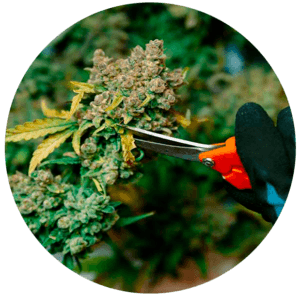 Dispensary insurance by Green Goddess Company for your marijuana products